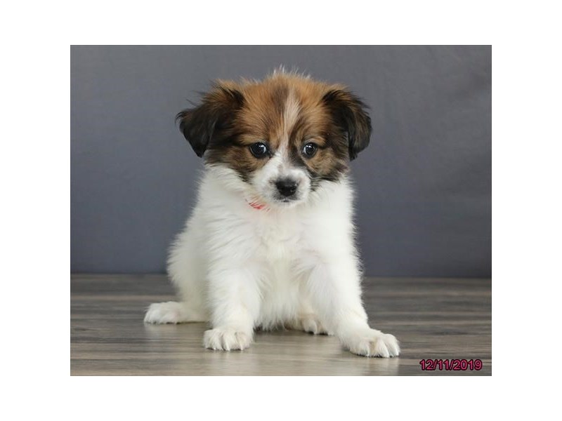 Papillon-Female-Red / White-2563332-Petland Carmel, IN