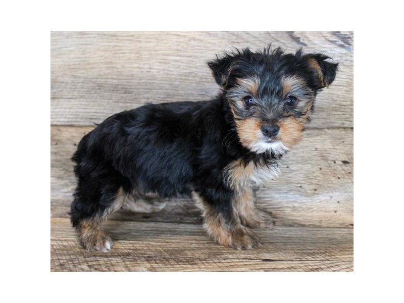 Yorkshire Terrier-Female-Black / Tan-3079205-Petland Carmel, IN