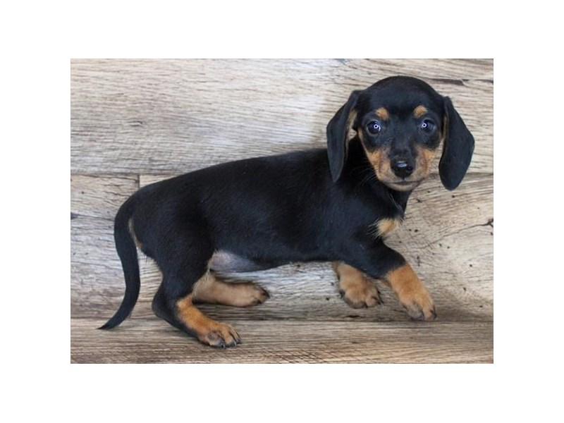 Dachshund-Female-Black / Tan-3079209-Petland Carmel, IN