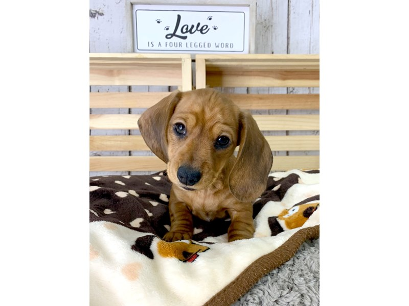 Dachshund-Female-Red-3101529-Petland Carmel, IN