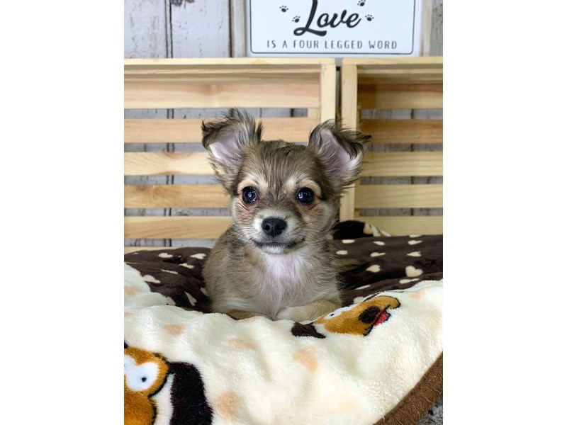 Chihuahua-Male-Black Sabled Fawn-3101525-Petland Carmel, IN