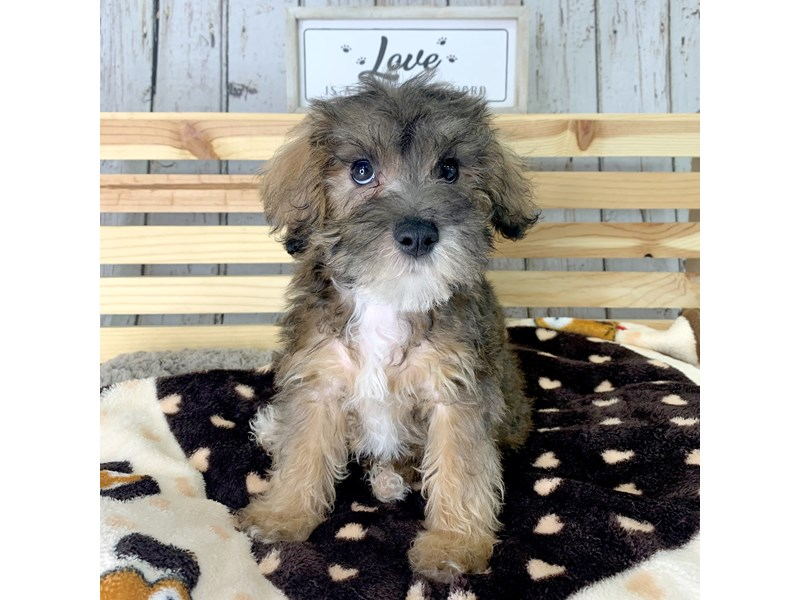 Schnoodle-Male-Red Sable-3173449-Petland Carmel, IN